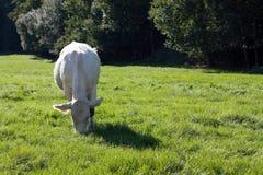 Satisfied cow Stock Photos