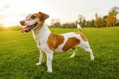 Satisfied debonair smiling dog standing on fresh green grass. Stock Images