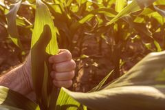 Satisfied farmer gesturing thumbs up in corn field. Close up of hand stock image