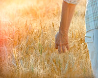 Satisfied farmer goes with hand through wheat Royalty Free Stock Photography
