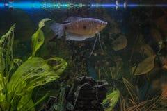 Satisfied fish. Swimming in the aquarium Stock Photos