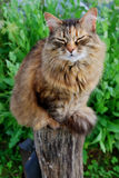 Satisfied Grey Cat sitting on Wood at the Grass Background Stock Photo