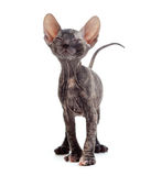 Satisfied hairless sphynx kitten Stock Photography