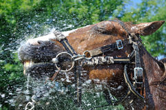Satisfied happy horse cooled by water in series, 1 of 4 Royalty Free Stock Photography
