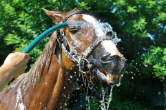 Satisfied happy horse cooled by water in series, 3 of 4 royalty free stock photos