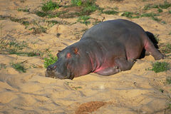 Satisfied hippo Stock Image