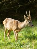 Satisfied roe deer stag (capreolus capreolus) Stock Images