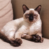 Satisfied Thai kitten resting on the couch Royalty Free Stock Images