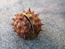 Sativa φρούτα Castanea κάστανων που πέφτουν στο έδαφος στοκ εικόνες