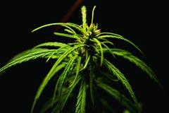 sativa cannabis Arkivbilder