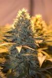 sativa cannabiss Royaltyfria Foton