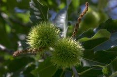 Sativa Castanea, söta kastanjer som döljas i taggiga cupules, smakliga brunaktiga tokiga marronfrukter, filialer med sidor Royaltyfria Bilder