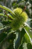 Sativa Castanea, söta kastanjer som döljas i taggiga cupules, smakliga brunaktiga tokiga marronfrukter, filialer med sidor Arkivfoton