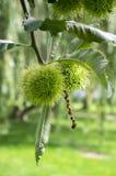Sativa Castanea, söta kastanjer som döljas i taggiga cupules, smakliga brunaktiga tokiga marronfrukter, filialer med sidor Royaltyfri Foto