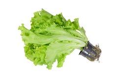 Sativa del Lactuca di varietà dell'insalata verde sviluppato in una tazza di plastica isolata su un bianco immagini stock
