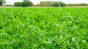 Sativa fält för Medicago, alfalfa (4K)