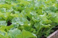 Sativa grönsakträdgård för grön organisk Lactuca fotografering för bildbyråer