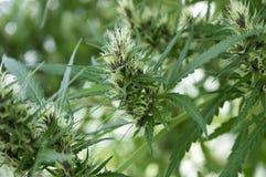 Sativa manlig växt för cannabis i blom Royaltyfri Fotografi