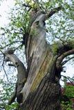 Sativa träd för gammal Castanea för söt kastanj arkivbilder