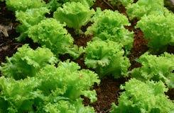 Sativa växter för Lactuca Royaltyfria Bilder