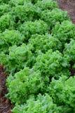 Sativa växter för Lactuca i fält Fotografering för Bildbyråer