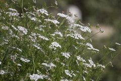Sativum korianderCoriandrum Royaltyfri Fotografi