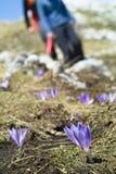 sativus番红花的番红花 免版税库存照片