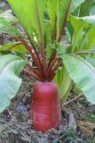 Sativus Raphanus stock afbeelding