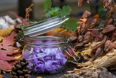 Sativusin roxo bonito do açafrão, conhecido como Fotos de Stock Royalty Free