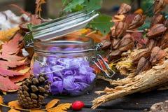 Sativusin roxo bonito do açafrão, conhecido como Foto de Stock