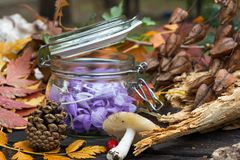 Sativusin roxo bonito do açafrão, conhecido como Fotos de Stock