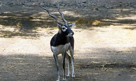 A satnding male blackbuck. The blackbuck / Antilope Cervicapra is an antelope native to the Indian subcontinent. The male blackbuck is larger than female with stock image