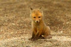 Sats för röd räv Arkivfoton