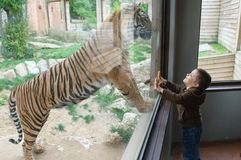 Sats på zooen som ser en tiger Arkivbilder