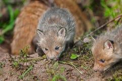Satsen för den röda räven (Vulpesvulpes) sniffar runt om hålan - moder i Backgr Arkivfoton