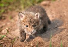 Satsen för den röda räven (Vulpesvulpes) stryker omkring in mot tittaren Arkivfoton
