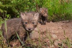 Satser för den röda räven (Vulpesvulpes) står på Densite Royaltyfria Bilder