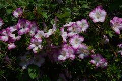 Satsuki azalea royaltyfria foton