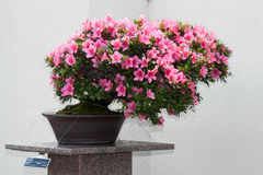 Satsuki Azalea bonsai in flowering boom Royalty Free Stock Image
