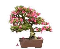 Satsuki Azalea Bonsai Royalty Free Stock Images