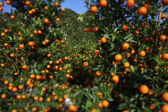 Satsuma orchard in Japan also christmas symbol Stock Images