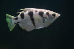 Satt band archerfish Arkivfoto