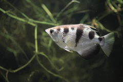 Satt band archerfish Royaltyfri Fotografi