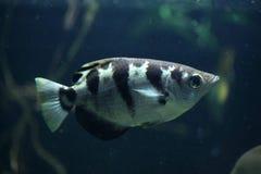 Satt band Archerfish (toxotesen Jaculatrix) Arkivfoto