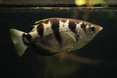 Satt band Archerfish (toxotesen Jaculatrix) Arkivbilder