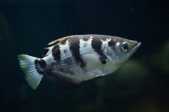 Satt band Archerfish (toxotesen Jaculatrix) Royaltyfri Bild