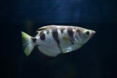 Satt band Archerfish (toxotesen Jaculatrix) Fotografering för Bildbyråer