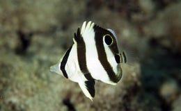 satt band butterflyfishjuvenille Fotografering för Bildbyråer