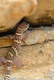 satt band gecko texas Royaltyfri Fotografi