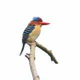 satt band kingfisher Fotografering för Bildbyråer